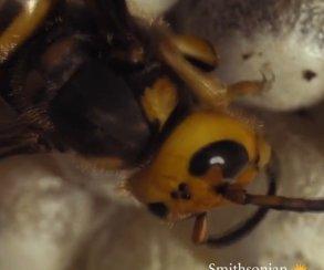 Рождение осы: жутко, нозавораживает