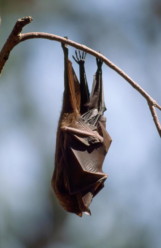 Хэллоуин еще некончился: лучшие фотографии летучих мышей отNatGeo - Изображение 7