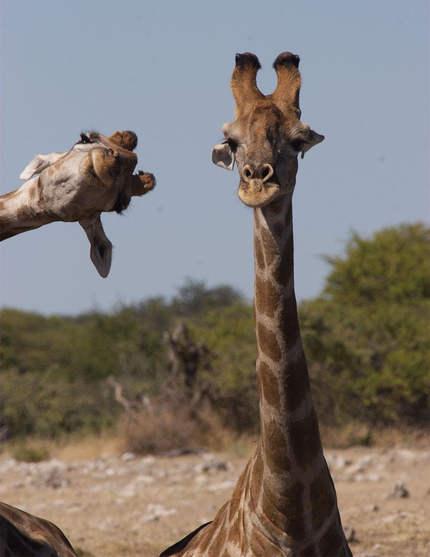 Позитивная галерея: 40 фото сконкурса насамый смешной снимок дикой природы   Канобу - Изображение 3959